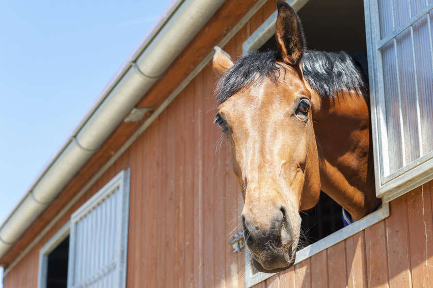 Thoroughbred horse peeking out of a barn